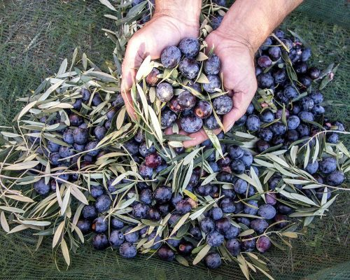 Winter activities - olive gathering